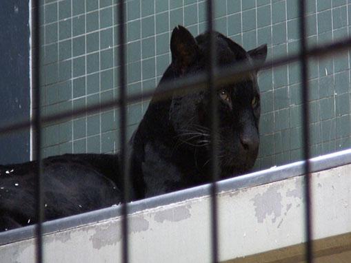 Gefangener Panther